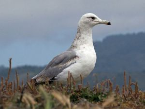 794px-California_Gull_(Larus_californicus_RWD2