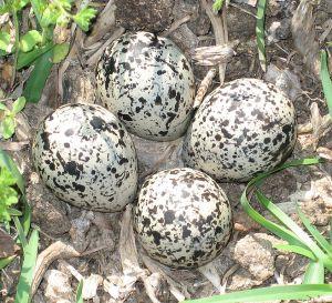 657px-Killdeer_eggs