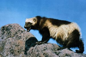 800px-Wolverine_on_rock